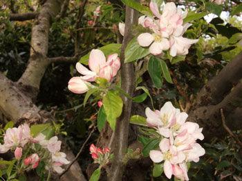 Kentish Apple-Blossom - English Afternoon Tea Courses