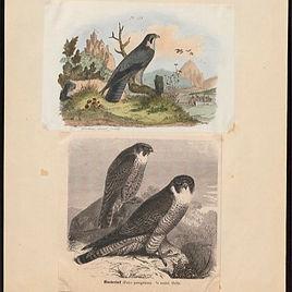 Falco_peregrinus_-_1700-1880_-_Print_-_I
