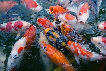 cellular control fish pond 2.jpg