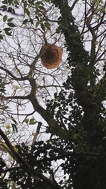 nid frelons asiatiques 2.jpg