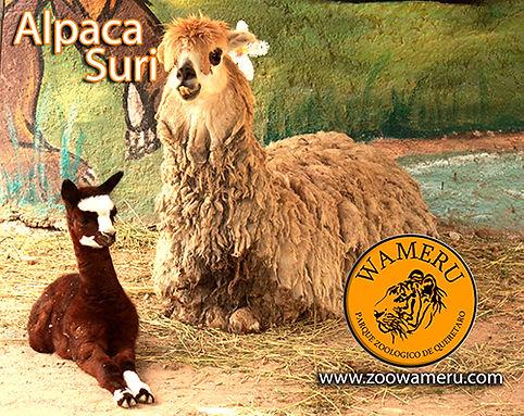 Alpaca_2019_02.jpg