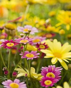 daisy-types-1-1586982298.jpg