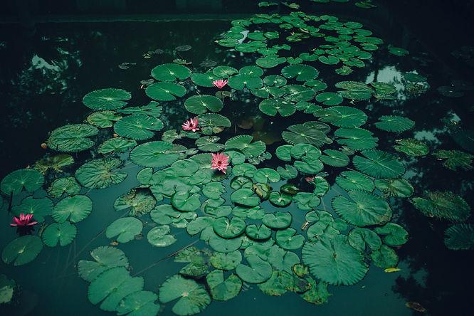 lily-pads-2819290.jpg