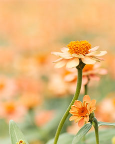 shallow-focus-photography-of-white-daisy