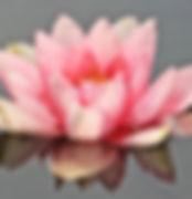 water-lily-nuphar-lutea-aquatic-plant-mi