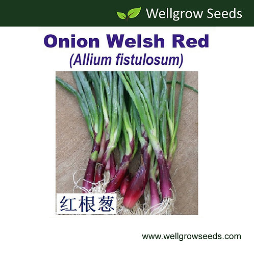 Onion Welsh Red