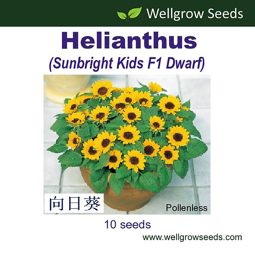 Helianthus (Sunbright Kids F1 Dwarf)