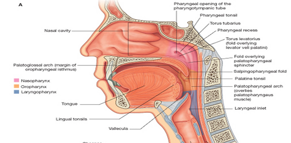 naturally the oropharynx is a small passageway