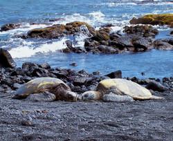 Sea Turtles at Punalu'u