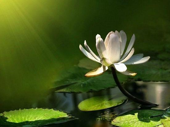 q2mmCQr-lotus-flower-wallpaper.jpg