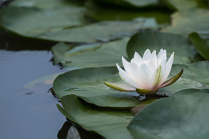 white-water-lily-blooming-in-pond-GVYZSQ