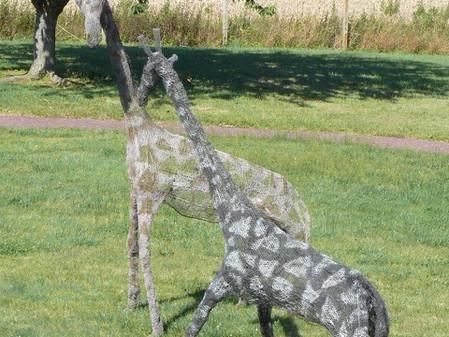 Deux magnifiques girafes retrouvées à Clécy!