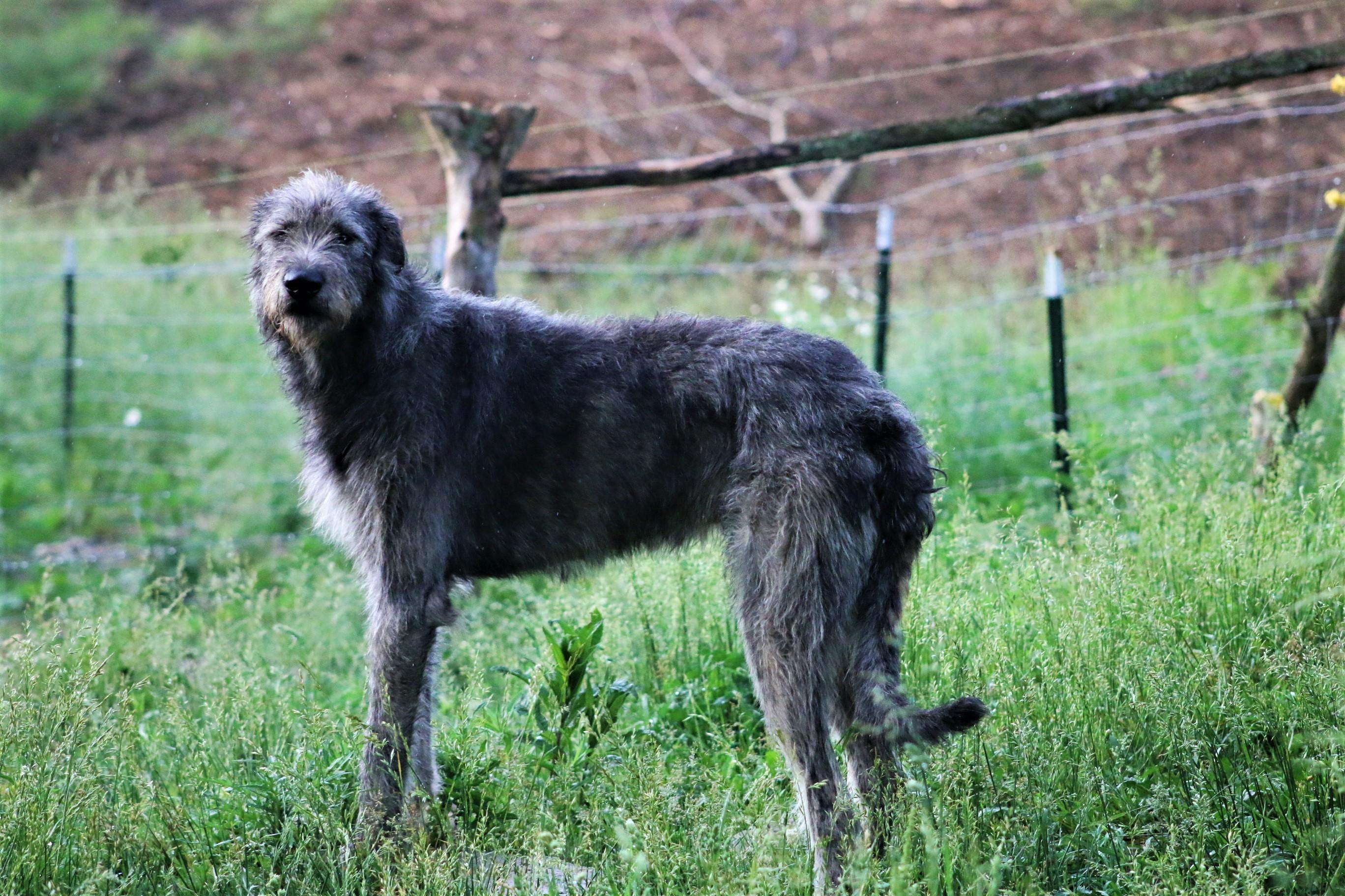 Irish Wolfhounds Of Avalon, Kentucky
