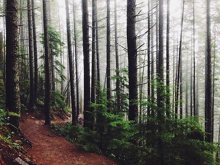 trees trunks in mist