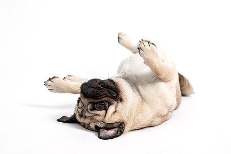 Cute pet dog pug breed lying on ground a