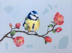 Blue Tit on Quince Blossom