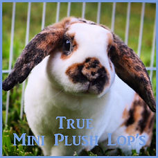 Mini Plush Lop