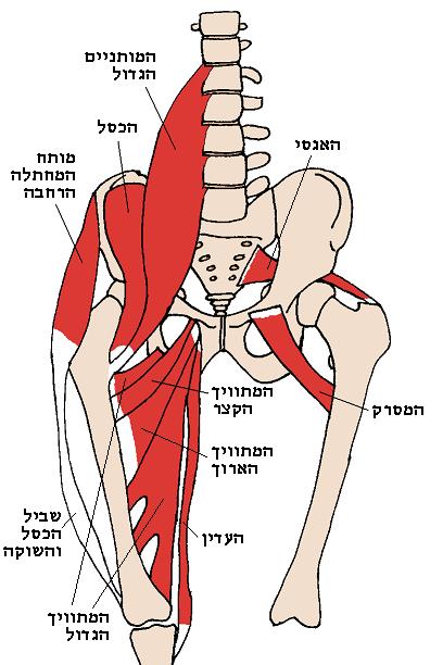 שריר המותן-כסל (IllioPsoas)