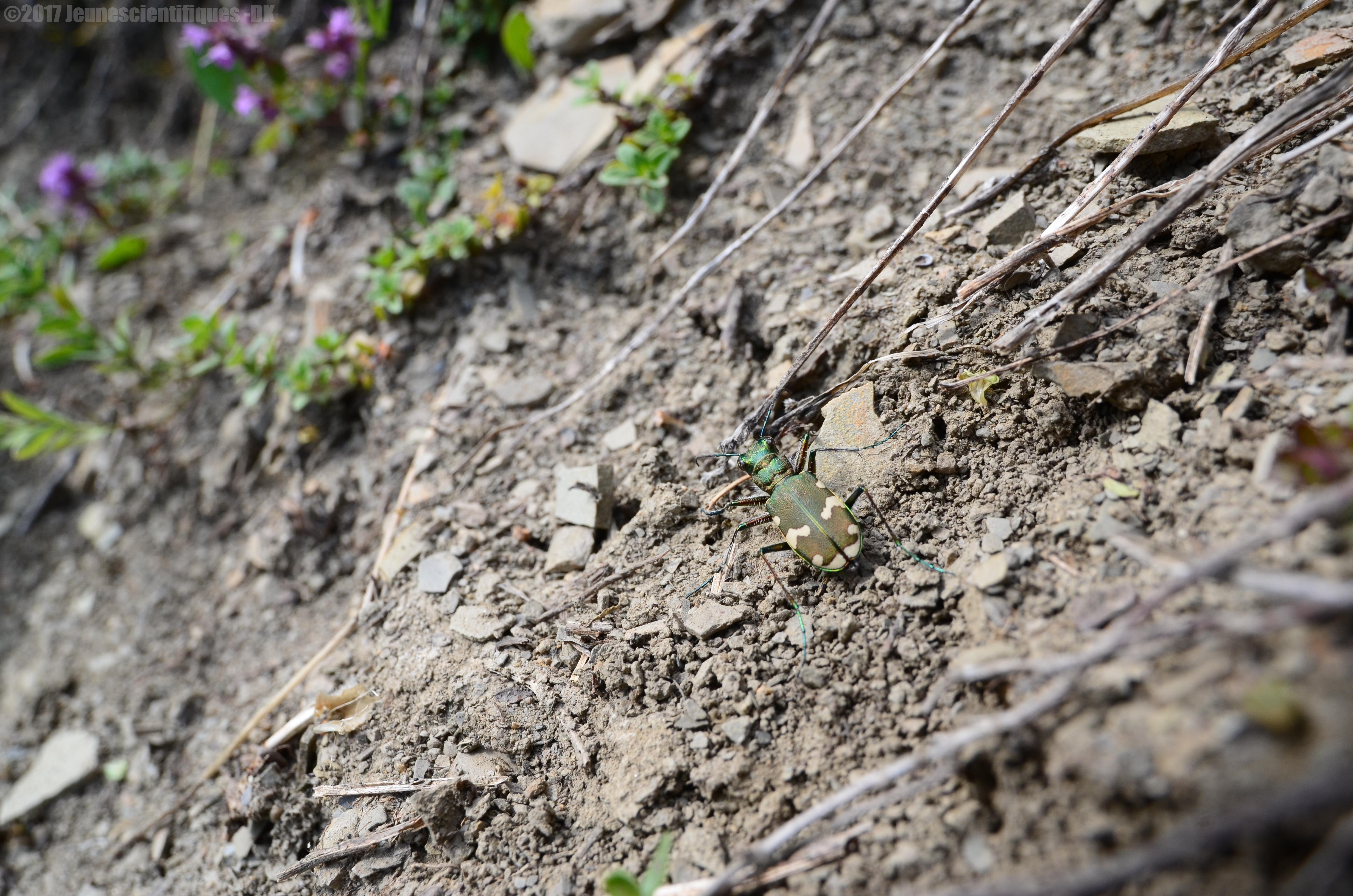Cicindela sylvicola