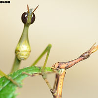 Photos - Orthoptera