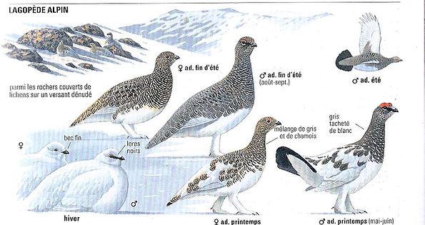 Les différents plumages du Lagopède Alpin