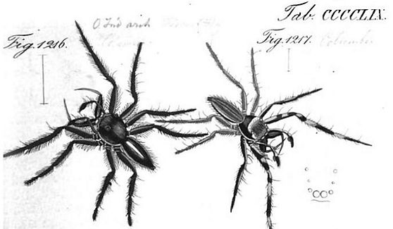 Figure 5:mâle Hyllus giganteus (Fig. 1216)