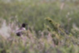 Turdus torquatus (Linnaeus, 1758)