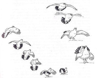 Vol nuptial du Lagopède Alpin  (tiré de «handbuch der Vögel Mitteleuropas»)