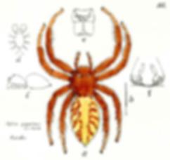 Figure 3 : femelle Hyllus giganteus par Teodor Thorell