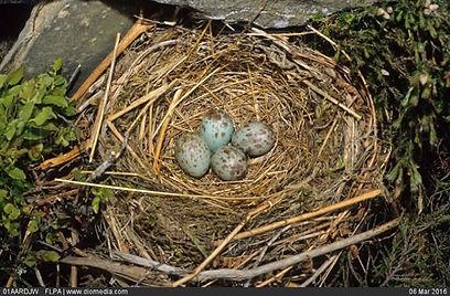 JONES, Mike : Ring Ouzel (Turdus torquatus) four eggs in nest in Diomedia.
