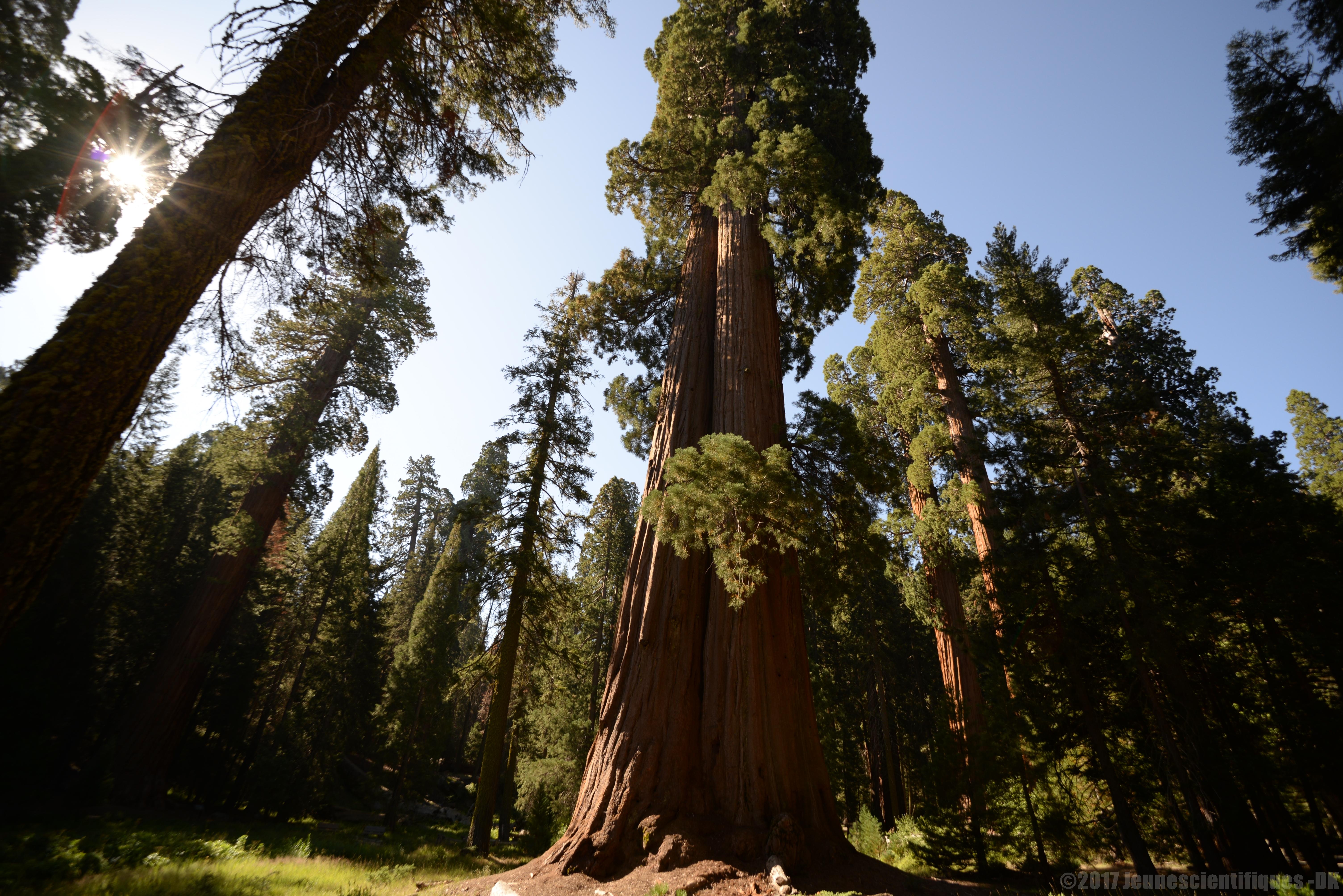 Forêt de Séquoia