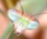Photos - Mantodea