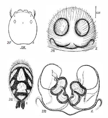 Figure 4: schéma d'une femelle Hyllus diardi par Marek Żabka