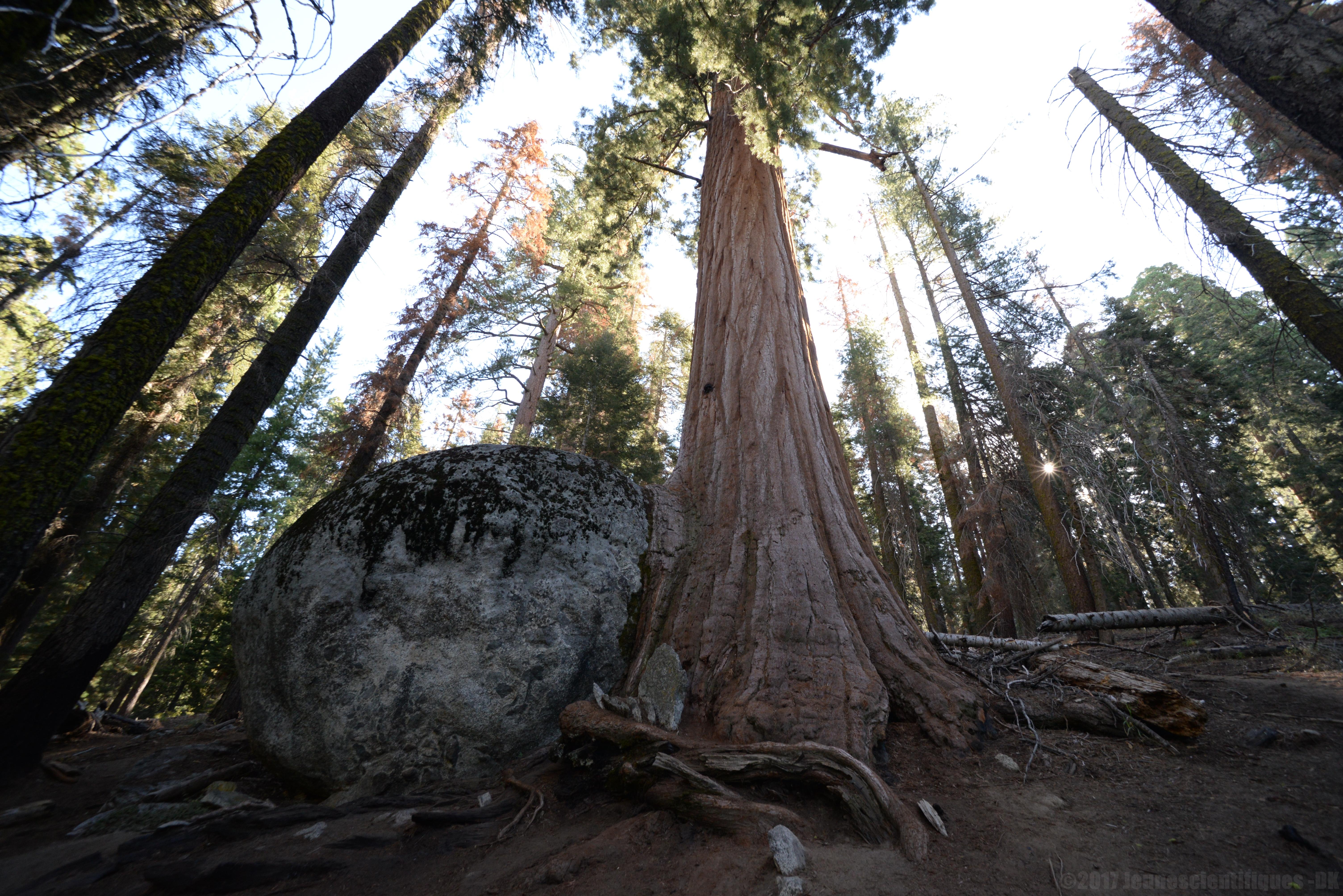 Séquoia et rocher