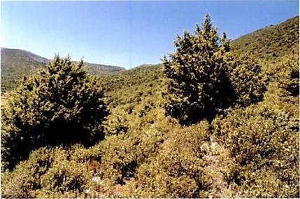 MHIRIT, Omar ; BLEROT, Philippe, Haut-Atlas, Maroc ; in Le grand livre de la forêt marocaine. Pierre Mardaga, Sprimont, 1999, p. 80.