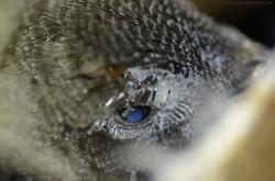 Tachymarptis melba (Linnaeus, 1758)