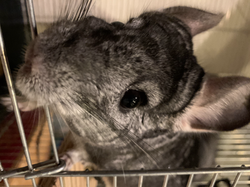 Weezy the chinchilla