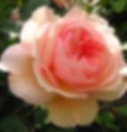 Rose Lichfel Angel