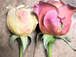 Guard petals on Garden Roses
