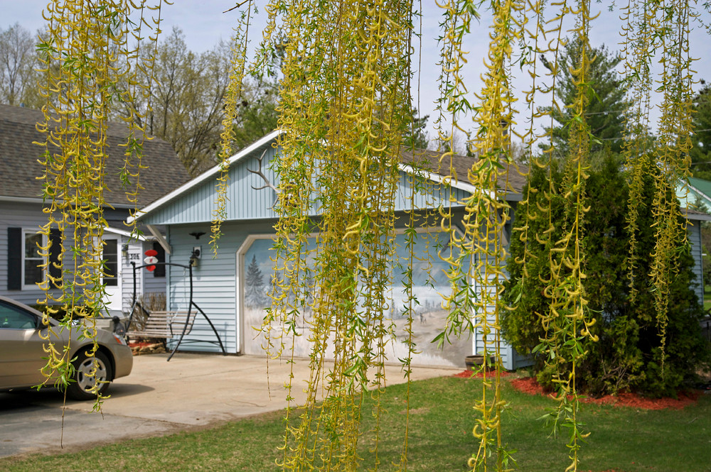 Willow by the Garage