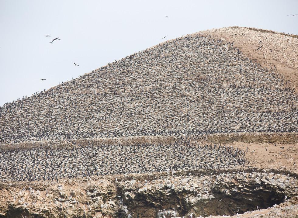 Colonia de Guanais, Islas Ballestas. Perú