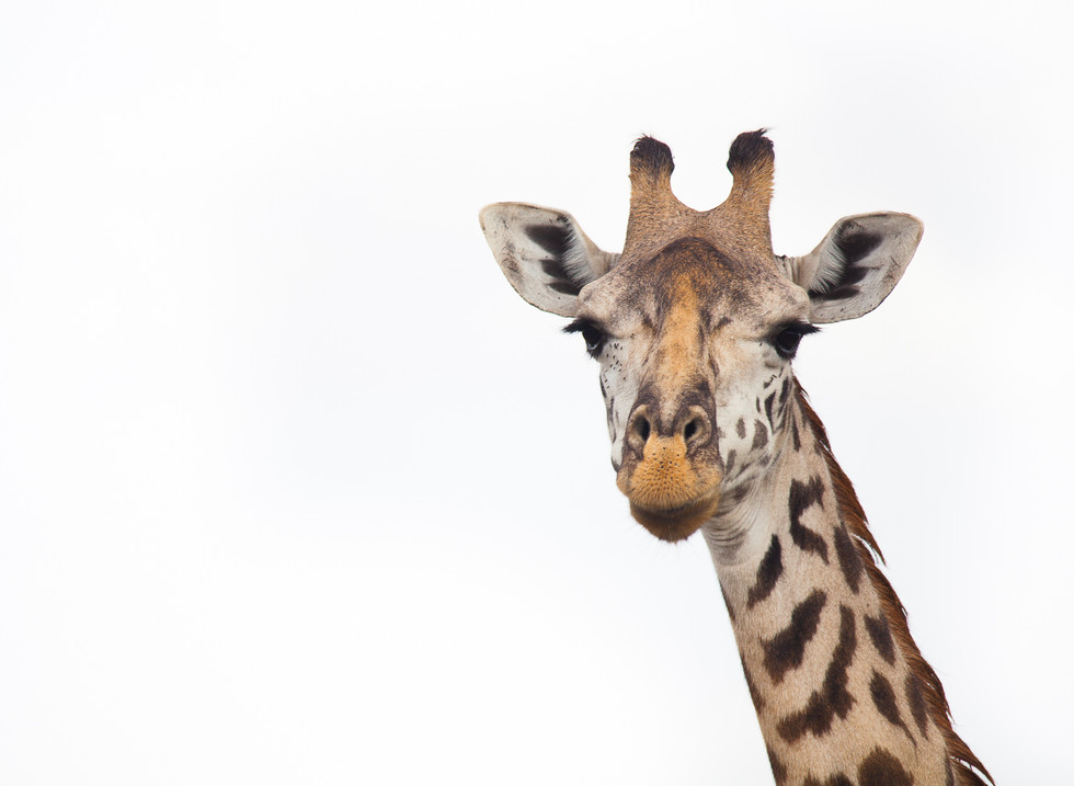 Jirafa, Masai Mara. Kenia