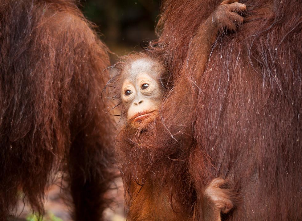 Orangutanes, Parque Nacional Tanjung Puting. Borneo, Indonesia