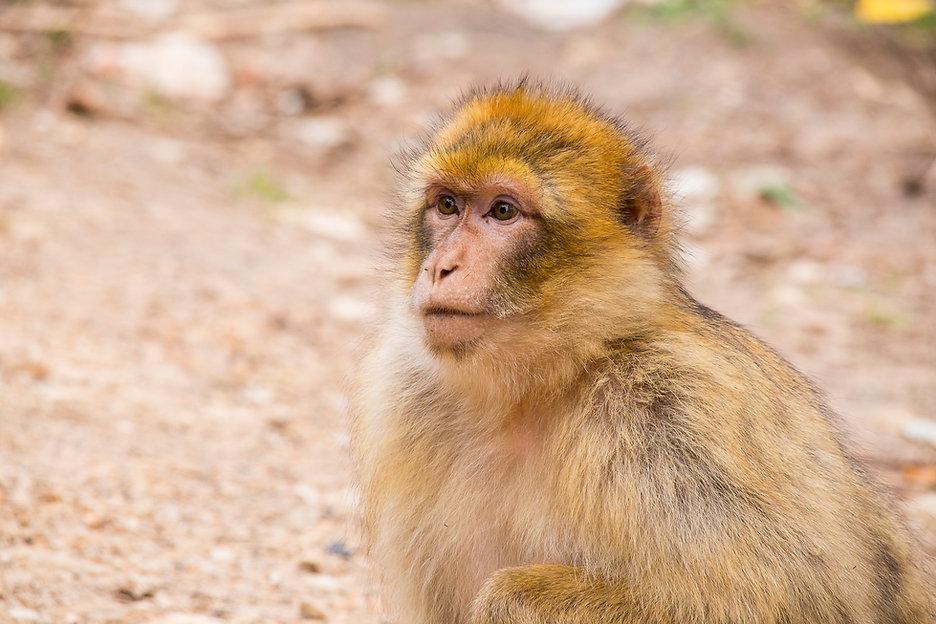 Macaco de Berberia, Marruecos