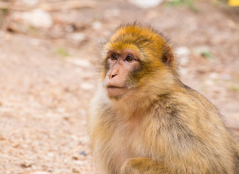 Macaco de Berberia, Parque Nacional Ifrane. Marruecos
