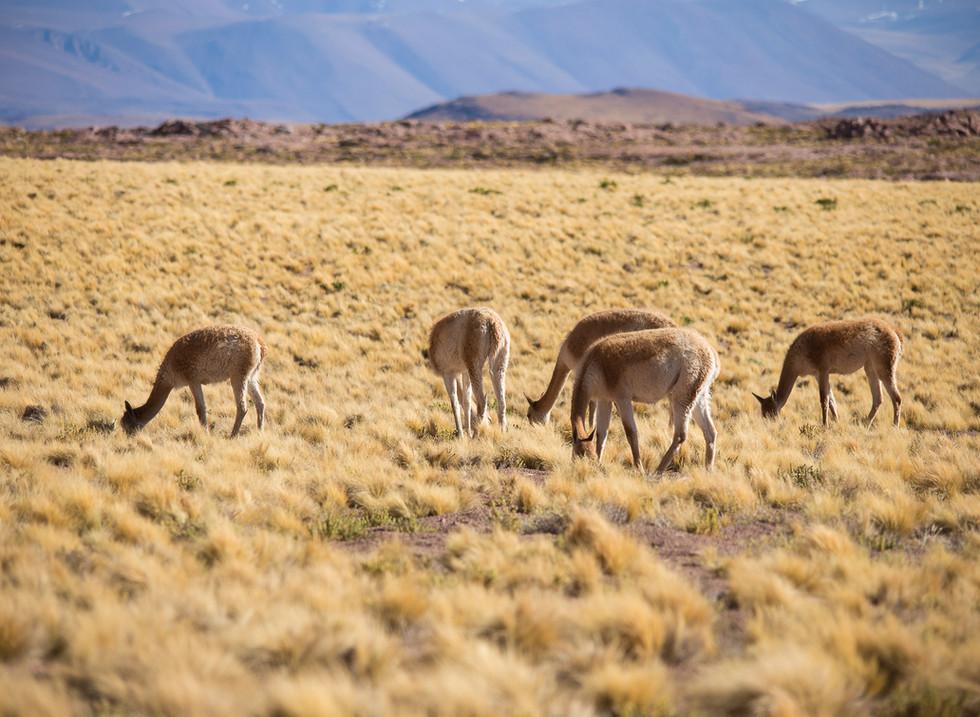 Vicuñas, Lagunas Altiplanicas. Atacama, Chile