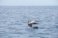 Pelicano Peruano, Islas Ballestas