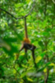 Mono araña . Parque Nacional de Corcovado. Descubre Sin Limites