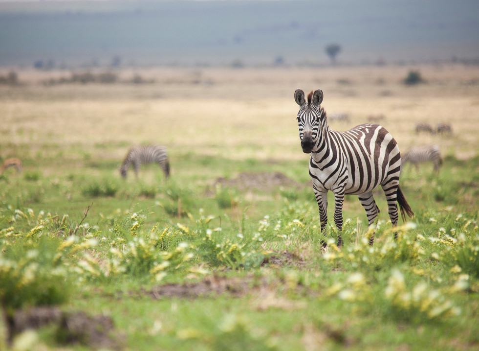 Cebra, Reserva Masai. Mara Kenia