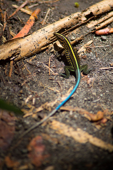 Ameiva, Volcan Arenal. Costa Rica